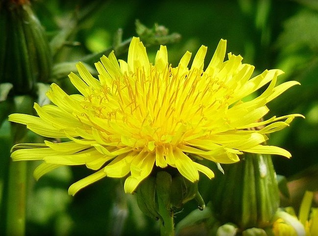 Dandelion, image by Christopher Combe